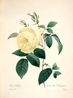 Rose Indica, Plate 84 by Pierre-Joseph Redoute | Art Posters