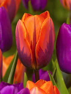 Orange and Hot PInk with a touch of Green - Eye-popping color! Tulip Princess Irene