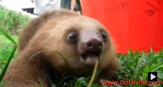 ~Watch Cute Squeaky Sloth~