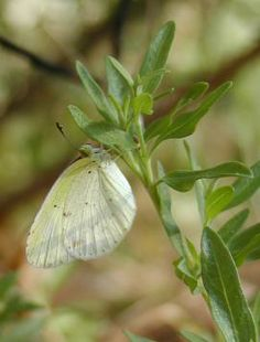 Texas native plants that are larval host for many insects that birds prey upon.