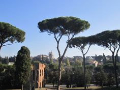 The Italian Stone Pine AKA Umbrella Pines are probably one of the prettiest trees. You will see them everywhere you go in Rome, Italy! Beautiful!