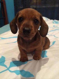 Funny Dog Memes, Funny Animal Memes, Cute Funny Animals, Cute Baby Animals, Funny Dogs, Animals And Pets, Dachshund Puppies, Cute Puppies, Cute Dogs