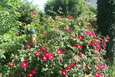 Terrace, Rose, Lawn And Garden, Seasons Of The Year, Balcony, Pink, Patio, Roses, Decks