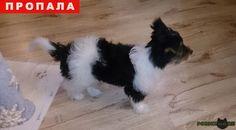 Пропала собака кобель г.Иркутск http://poiskzoo.ru/23533_premium_080616.html  Пропала собака, Йорк Бивер, зовут Гоша. Нашедшего, просьба, вернуть за достойное вознаграждение!  РЕПОСТ! #Пропала #собака #Пропала_собака #ПропалаСобака #Иркутск