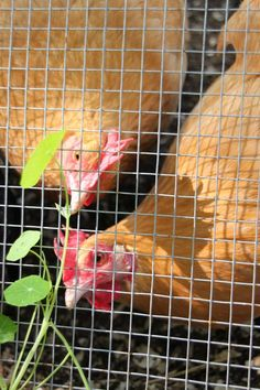 Love gardening with chickens? Climbing vines look great on the chicken run. Chicken safe vines provide, shade for the flock, food and more.