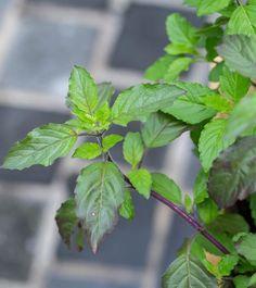Holy Basil: Benefits For Your Health, Skin, And Hair Tulasi Plant, Plant Leaves, Basil Tea, Bath Benefits, Tea Blends, Ayurveda, Natural Health, Holi, Hair Care