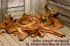 Moose Pile! Baby moose sleeping at the Kostroma Moose Farm