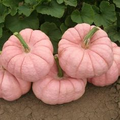 I actually bought pink pumpkins this year from a farm that grows them in Modesto,Ca. It's the Pink Pumpkin Foundation. They are Pink Porcelain Pumpkins. Proceeds from each pumpkin sold go to breast cancer research. Pink Love, Pretty In Pink, Pink And Green, Hot Pink, Purple, Tips And Tricks, Pink Pumpkins, Fall Pumpkins, Painted Pumpkins