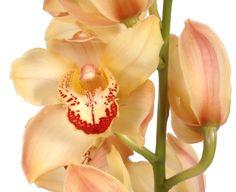 "Fresh Flowers - Orchids - Peach Orange Cymbidium Orchid Huge - 23"" Long Stem - http://yourflowers.us/?p=1931"