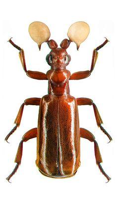 Carabidomemnus mollicellus
