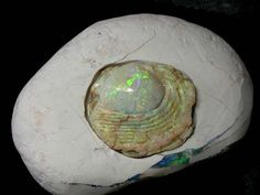 Opalized Shell Fossil - Coober Pedy, Australia