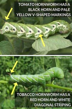 image of tomato hornworm pointing out black horn and v-shaped markings vs tomato hornworm with red horn and white striping Plant Pests, Garden Pests, Garden Bugs, Garden Care, Tomato Garden, Tomato Plants, Vegetable Garden, Growing Tomatoes In Containers, Japanese Beetles