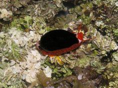 Cribrarula cribraria niger