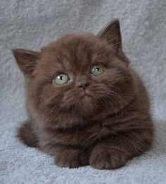 Pin by Avrtatiana on British❤️Cats❤️ Cute Baby Cats, Cute Cats And Kittens, Cool Cats, Kittens Cutest, Cute Dogs, Pretty Animals, Cute Little Animals, Pretty Cats, Cute Funny Animals