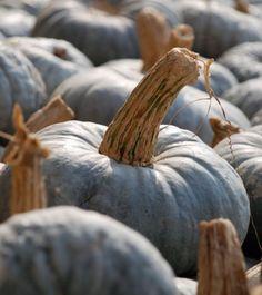 Zucca barucca form Italy's Veneto.