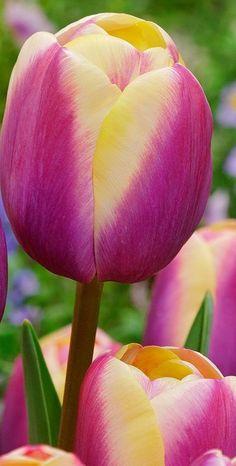 Tulips Flowers, Sugar Flowers, Exotic Flowers, Amazing Flowers, Pansies, Daffodils, Spring Flowers, Planting Flowers, Tulip Flower Pictures