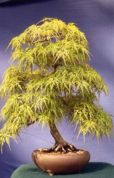 60 My Favorite Beautiful list of Trees for #bonsai [pics]