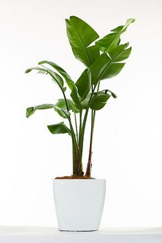 Classic plants you need in your home - House Plants - ideas of House Plants - Banana Leaf PlantThe banana leaf plant makes a statement and offers a hint of the tropics without having to actually book a plane ticket. Plantas Indoor, Interior Design Living Room Warm, Interior Livingroom, Kitchen Interior, Birds Of Paradise Plant, Banana Plants, Banana Plant Indoor, Banana Palm, Ficus Elastica
