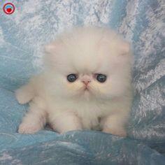 Cute Little Kittens, Cute Baby Cats, Cute Cats And Kittens, Cute Funny Animals, Cute Baby Animals, Beautiful Kittens, Animals Beautiful, Cutest Kittens Ever, Himalaya
