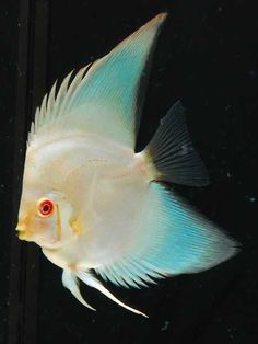 shark fin discus - Google Search
