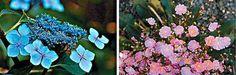 Hydrangeas Blue Hydrangea, Hydrangeas, Part Sun Perennials, Planting Succulents, Indoor Outdoor, Home And Garden, Backyard, Flowers, Plants