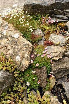 Alpine planting, Orkney Islands garden 2020 ( photo C. Rockery Garden, Rock Garden Plants, Gravel Garden, Shade Garden, Succulent Gardening, Succulents Garden, Planting Flowers, Landscaping With Boulders, Landscaping Plants