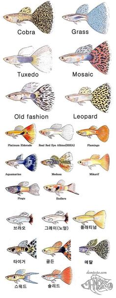 #guppy types - #rainbowfish #millionfish