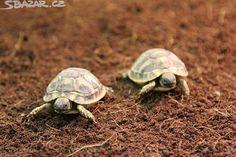 Nabízím k prodeji mláďata těchto suchozemských želv: - obrázek číslo 1