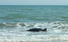 Leatherback sea turtle on Oak Island, NC!