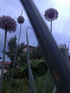 Blühender Lauch Dandelion, Flowers, Plants, Dandelions, Taraxacum Officinale, Royal Icing Flowers, Flower, Florals, Plant