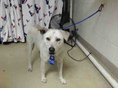 01/10/17 -VERY URGENT!!! PLEASE WATCH VIDEO AND ADOPT/RESCUE/FOSTER!! SUPER URGENT - HOUSTON FACILITY OVER CAPACITY This DOG - ID#A475114 I am a female, white Labrador Retriever mix. My age is unknown. I have been at the shelter since Jan 05, 2017. Harris County Public Health and Environmental Services. https://www.facebook.com/harriscountyanimalshelterpets/videos/1385284784868649/