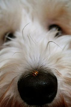 Cute! Lady Bug on the nose of a cute dog!
