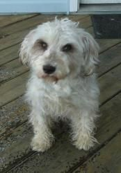 Chellie is an adoptable West Highland White Terrier Westie Dog in Mount Prospect, IL. Chellie is an adorable little girl who we think may be a westie mix, perhaps with poodle or maltese. While we are ...