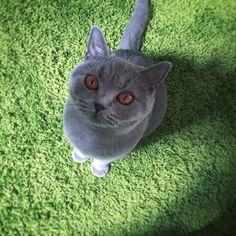 Petit Merlin presque grand ! #merlin #love #catsofinstagram #lovemycat #beautiful #picoftheday #britishshorthair