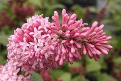 SYRINGA prestoniae 'Miss Canada' Miss Canada, Syringa, Cacti, Lilac, Garden, Flowers, Plants, Magnolias, Lilac Bushes