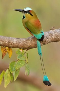 Tourquoise-browed motmot