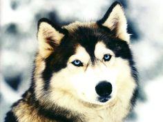 Siberian Husky Where are you? LOL