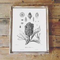 Magnolia Foetida Botanical Illustration Print Botanical