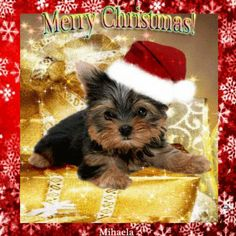 66 Best Yorkies Christmas Images On Pinterest Cute Puppies Yorkie