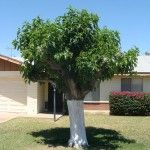 Mulberry Tree For Your Garden