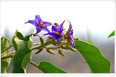 flor da lobeira - Pesquisa Google