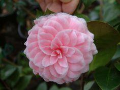 "~Camellia Japonica ""Tom Thumb"""