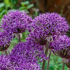Shop Violet Beauty Allium | Breck's Summer Bulbs, Spring Flowering Bulbs, Spring Bulbs, Spring Blooms, Sun Loving Plants, All Plants, Bulb Flowers, Dried Flowers, Colorful Flowers
