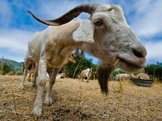 Os autarcas transmontanos têm boas expectativas sobre o projecto, que propõe a prevenção de incêndios em zonas de risco e de difícil acesso com cabras