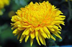 Flowers free desktop wallpaper picture 1024 x 768 Chrysanthemum Chrysanthemum Flower Pictures, Yellow Chrysanthemum, Yellow Flowers, Beautiful Flowers, Crysanthemum, Free Desktop Wallpaper, Wallpapers, Flower Names, Nature