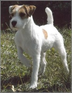 Parson Russell Terrier. this is what our 'jack' at home is more classified as apparently.  so cute