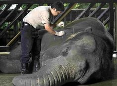 Acupuncture for Elephants! #AcupunctureTreatment