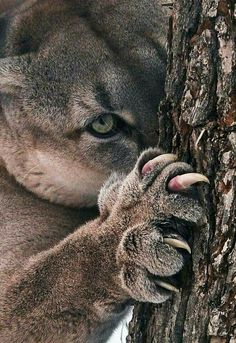 Somebodys in a nasty mood. Puma (cougar mountain lion) sharpening its claws. Nature Animals, Animals And Pets, Baby Animals, Cute Animals, Wild Animals, Savage Animals, Big Cats, Cool Cats, Cats And Kittens