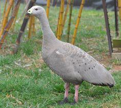 Cape Barren Goose photo via Livingston Ripley Waterfowl Conservancy facebook page