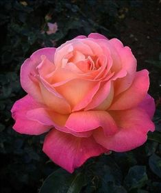 Beautiful rose, love the different pink tones. Beautiful Flowers Wallpapers, Beautiful Rose Flowers, Romantic Roses, Flowers Nature, Exotic Flowers, Amazing Flowers, Pretty Flowers, Rosa Rose, Rose Pictures